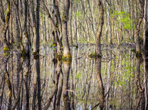 Forest in the swamp Royalty Free Stock Image