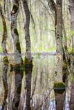 Forest in the swamp Royalty Free Stock Images