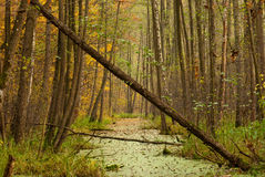 Forest swamp. Scene during autumn stock photography
