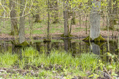Forest with swamp Stock Photos