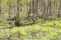 Forest with swamp Royalty Free Stock Photo