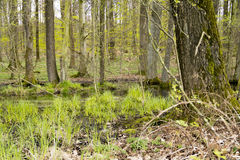 Forest with swamp Stock Image
