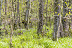 Forest with swamp Stock Images