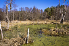 Forest swamp under sunshine Royalty Free Stock Image