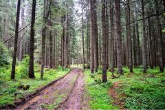 Forest swampy winding road with puddles among trees stock images