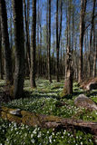 Forest in sweden. A forest in sweden. A log is situated in the foreground and the ground is covered with white spring-flowers Stock Photos