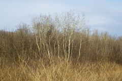 Forest with tall birch trees. Birch trees in the forest Royalty Free Stock Photography