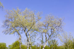 Forest with tall birch trees. Birch trees in the forest Royalty Free Stock Photo