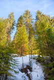 Forest with tall firs Stock Photos