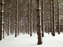 Forest of tall pine trees covered in snow Royalty Free Stock Photo