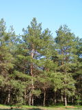 Forest with tall pine trees, with long green needles Royalty Free Stock Image