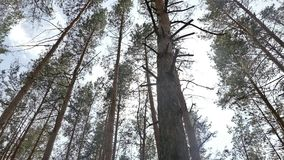In the forest tall pines slow motion video. High trunks of pines in coniferous forest slow motion video stock footage