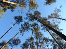 Forest. Tall trees in the forest Stock Photo