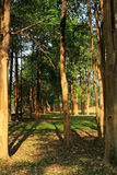 Forest of tall trees Royalty Free Stock Image