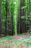 Forest. Tall Trees. In summer day stock photos