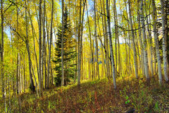 Forest of tall yellow and green aspen during foliage season Royalty Free Stock Photography