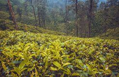 Forest with tea plantations on beautiful hills with trees and lush of green.  Royalty Free Stock Image