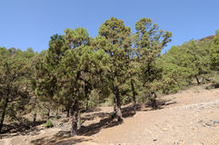 Forest in Teide National Park, Tenerife Stock Images