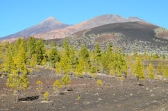 Forest In Teide National Park Tenerife Royalty Free Stock Photos