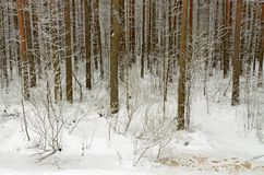In the forest there lies snow white. Is cold and frosty winter.In the forest there lies snow white Royalty Free Stock Photo