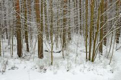 In the forest there lies snow white. Is cold and frosty winter.In the forest there lies snow white Royalty Free Stock Photos