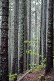 Forest. Thick forest in the fog Stock Image