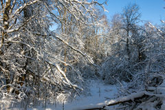 Forest thicket. Impenetrable forest in winter bright day. Russia royalty free stock photography