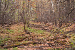 Forest thicket. Old felled forest. Stock Image