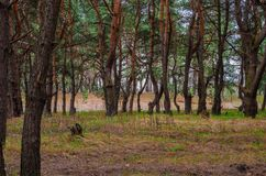 Forest thicket of a pine forest Stock Images