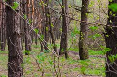 Forest thicket of a pine forest Stock Photography