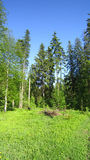 Forest thicket Royalty Free Stock Images