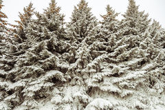 Forest thicket. Wilds forest thicket. Siberian taiga thick. The solid impassable wall of snow-covered fir trees. Winter background Royalty Free Stock Photos