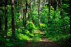 Forest  Thickets. Forest road in the dense thickets of plants Stock Images