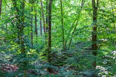 Forest thickets. Deciduous forest stock image