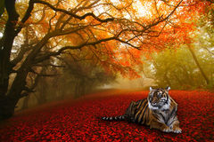 Forest tiger. Tiger resting in Chinese forest Stock Images