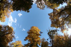 Forest top view from below. Fall forest tree tops view from below in sunny day Royalty Free Stock Photo