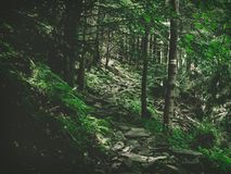 Forest tourist trail in the mountains among trees, stony path stock photography