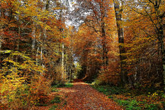 Forest track vibrant colors in fall. A track in a beech forest by vibrant colors at fall. Indian summer in German woods Stock Photography