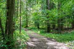Forest track through lush green woodland Royalty Free Stock Photography