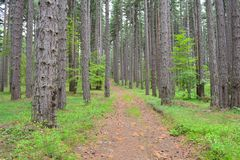 Forest track. Winding path through a pine forest Stock Images