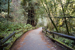 Forest trail. A trail in the redwoods Stock Photography