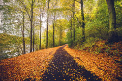 Forest trail covered with golden autumn leaves. In the fall with tall trees in autumn colors by the road Royalty Free Stock Image
