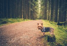 Forest Trail Dog Walk Royalty Free Stock Photography
