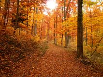 Forest Trail During Fall. A spectacular forest trail during the fall in Germany royalty free stock photos