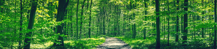 Forest trail in a green beech forest Royalty Free Stock Images