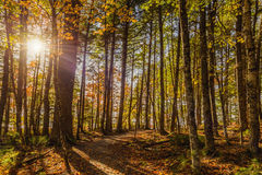 Free Forest Trail In Fall Royalty Free Stock Image - 61324486