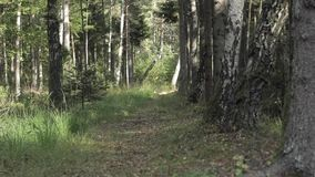 Forest trail in the mixed pine and birch tree forest in autumn. On Curonian Spit in Lithuania. You can guess the season autumn by the unnumbered fallen yellow stock video footage