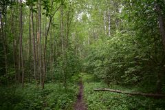 Forest trail stitch path winds through the trunks of mixed forest trees. In the thicket, overgrown with thin , tall birches and aspens stock images