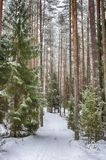 Forest trail in the winter forest. Winter. Pine forest, ecologically clean place for walking. Winter sky, tree tops, frame royalty free stock photos
