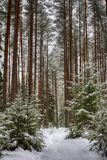 Forest trail in the winter forest. Winter. Pine forest, ecologically clean place for walking. Winter sky, tree tops, frame royalty free stock images